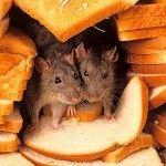 грызуны,крысы,мыши,уничтожение,борьба,выведение,
