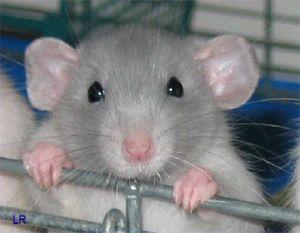 крыса,обработка,уничтожение,дератизация,выведение