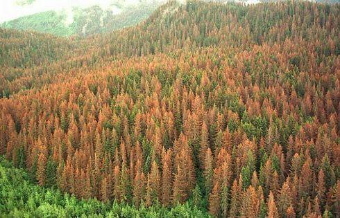 Лес пораженный короедом