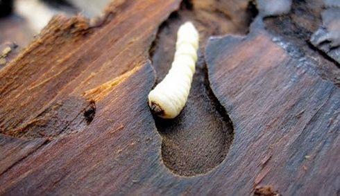 Личинка короеда