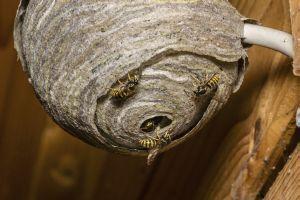 Как убрать осиное гнездо