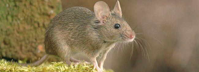 Мышь домовая
