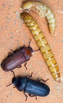 Большой мучной хрущак и его личинка