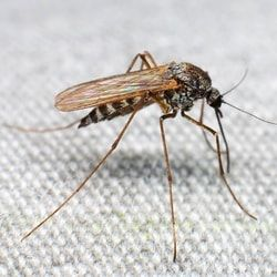Внешний вид комара