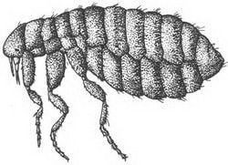 Glaciopsyllus antarcticus