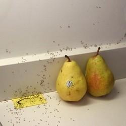 Уничтожение муравьев в квартире