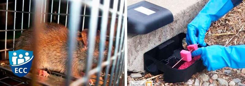 Дератизация -уничтожение крыс