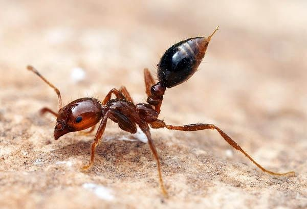 огненный муравей