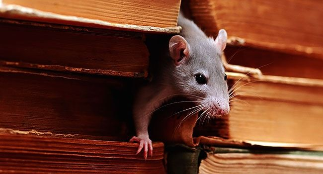 борьба с крысами в домашних условиях