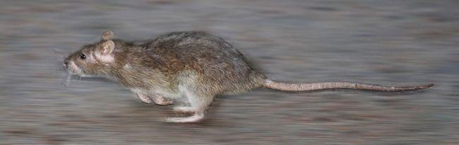 Профессиональная обработка от крыс