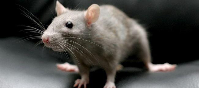 Серая крыса пасюк