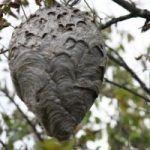 Как избавиться от гнезда шершней