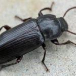 Что собой представляют черные жуки в доме
