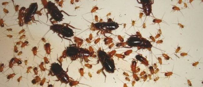 Профилактика черных тараканов