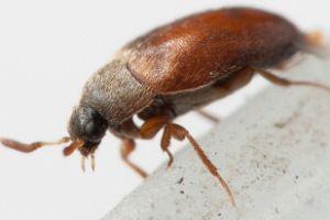 Уничтожение кожееда в домашних условиях