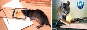 Как избавиться от крыс в частном доме