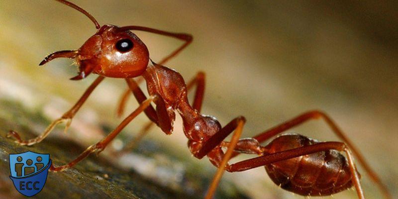 Избавиться от рыжих муравьев в квартире