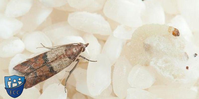 Как быстро избавиться от пищевой моли