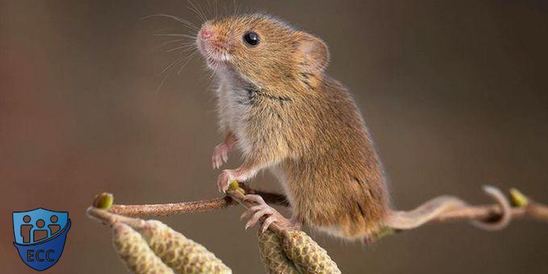Как навсегда избавиться от мышей в доме